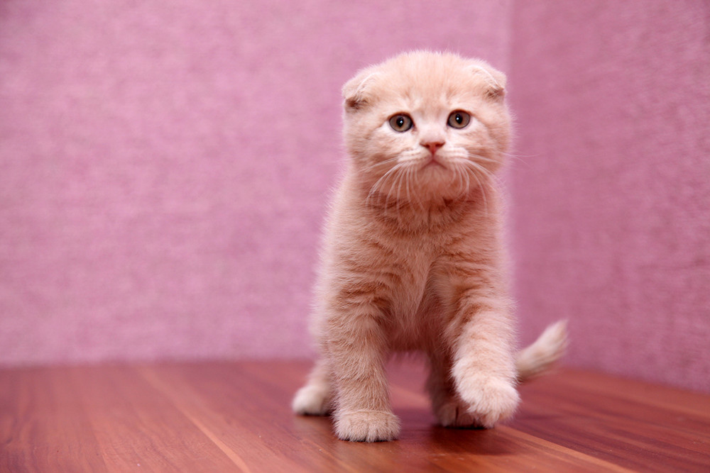 Шотландские вислоухие и прямоухие котята фото №1