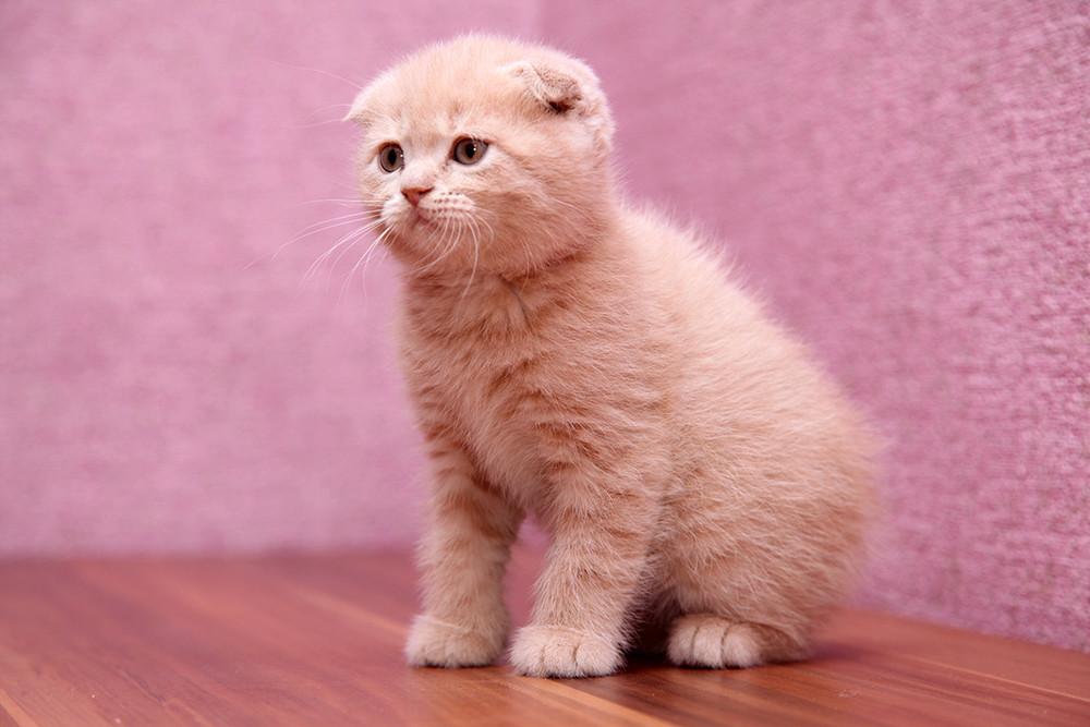 Котенок Шотландский скотиш фолд персикового окраса фото №1