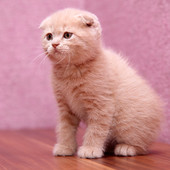 Котенок Шотландский скотиш фолд персикового окраса