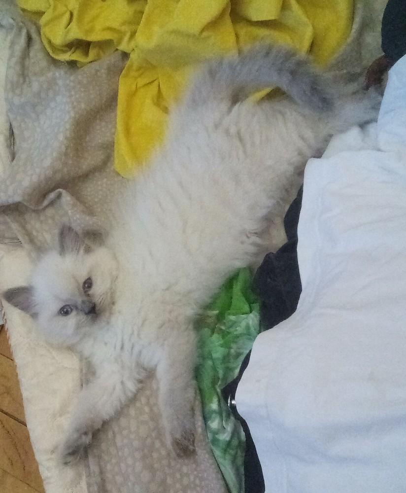 Продаётся милый котёнок-мальчик! фото №1