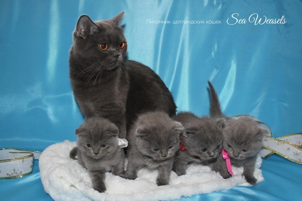 Шотландские котята от чистокровных чемпионов! фото №1