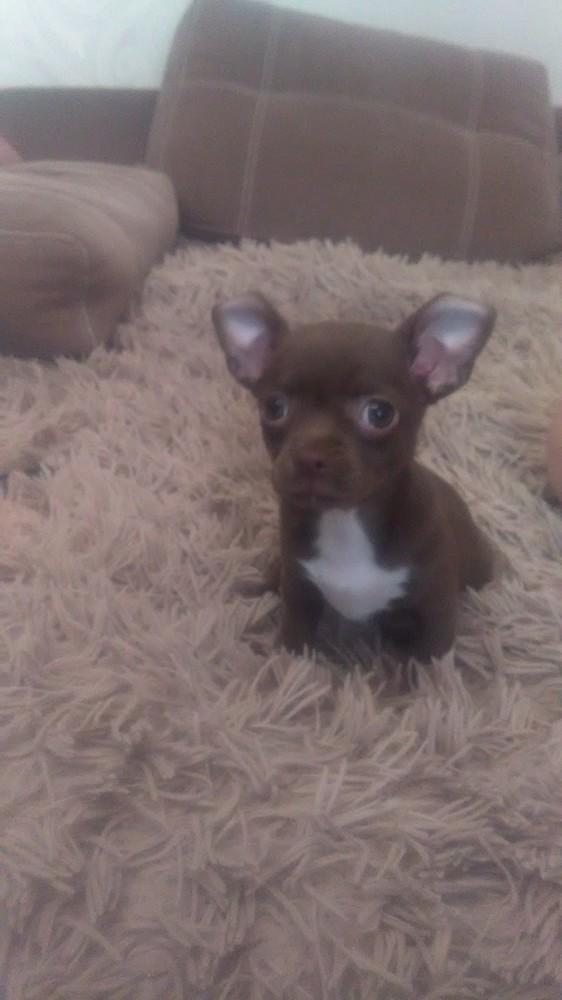Продам щенка чихуахуа фото №1
