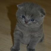 Продам замечательных котят британцев.