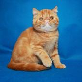 Клубные котята породы Экзот. Большой выбор!