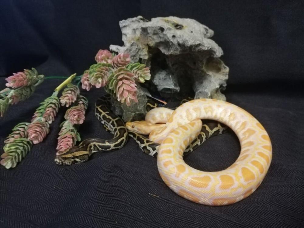 Тигровый питон (лат. python molurus) фото №1